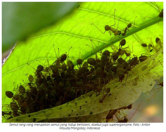 4400 Gambar Hewan Semut Gratis Terbaru